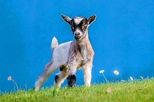 Grey-and-white agouti pygmy goat kid standing in front of blue house wall, Frnace.  -  Klein & Hubert