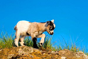 Grey-and-white agouti pygmy goat kid standing on a rock in a meadow, France. - Klein & Hubert