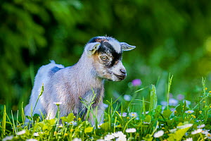 Grey-and-white agouti pygmy goat kid standing in daisies in summer, France.  -  Klein & Hubert