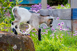 Grey-and-white agouti pygmy goat kid standing on rock in kitchen garden in summer  -  Klein & Hubert