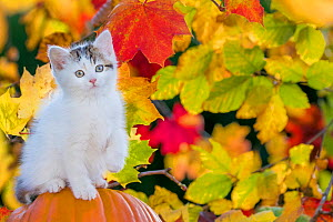 Tabby and white kitten, age two months, sitting on a a pumpkin in fall and lifting paw  -  Klein & Hubert