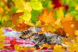 Semi-longhaired tabby kitten, age five weeks, sleeping on cushion in autumn leaves. - Klein & Hubert
