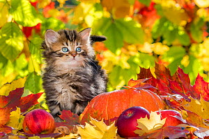 Semi-longhaired tabby kitten, age five weeks, with pumpkins, apples and autumn leaves.  -  Klein & Hubert