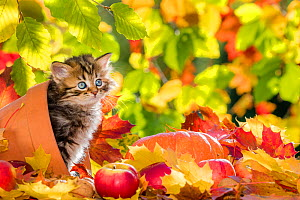 Semi-longhaired tabby kitten, age five weeks, in terracotta pot, with pumpkins, apples and autumn leaves.  -  Klein & Hubert