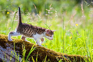 Tabby and white kitten, standing on a mossy tree trunk in a meadow in summer.  -  Klein & Hubert