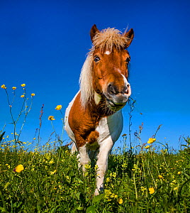 Shetland pony standing in meadow with flowers, Alsace, France.  -  Klein & Hubert