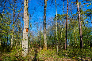 Bat box on a oak tree in deciduous forest in spring, France.  -  Klein & Hubert
