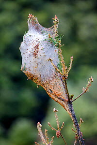 Pine processionary moth (Thaumetopoea pityocampa) caterpillar silk nest, France.  -  Klein & Hubert