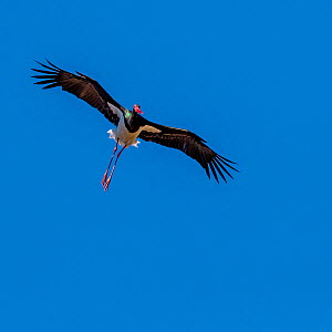 Black stork (Ciconia nigra) flight with blue sky, South Africa.  -  Klein & Hubert