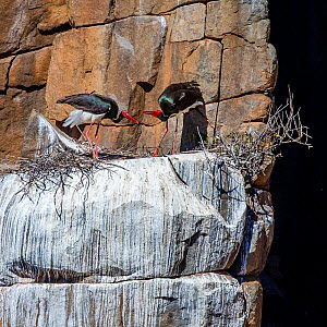 Black stork (Ciconia nigra) on nest on rocky outcrop in cliff, South Africa  -  Klein & Hubert