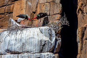 Black storks (Ciconia nigra) onat nest on rocky outcrop in cliff, South Africa  -  Klein & Hubert