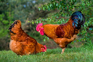 New Hampshire chicken rooster and hen, France.  -  Klein & Hubert