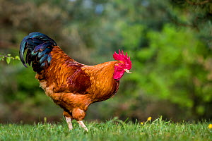 New Hampshire chicken rooster, France.  -  Klein & Hubert