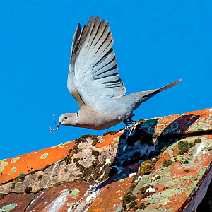 Eurasian collared dove (Streptopelia decaocto) flying from lichen covered roof holding a branch in beak, France. - Klein & Hubert