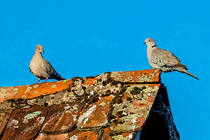 Eurasian collared dove (Streptopelia decaocto) pair resting  on lichen covered roof, France. - Klein & Hubert