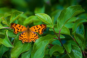 Comma butterfly (Polygonia c-album)  male on common dogwood leaves in summer, Alsace, France. - Klein & Hubert