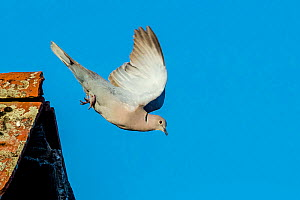 Eurasian collared dove (Streptopelia decaocto) flying from lichen covered roof, France. - Klein & Hubert