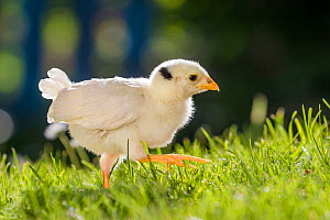 Domestic hen chick looking for insects and worms in garden in spring  -  Klein & Hubert