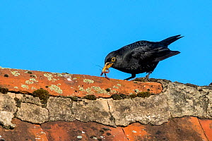 Common blackbird (Turdus merula) on roof,  male with earthworms in beak to feed his young, France. - Klein & Hubert