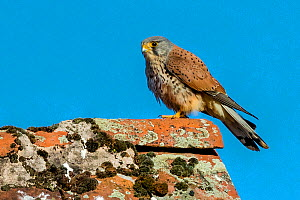 Kestrel (Falco tinnunculus) male resting on lichen covered roof, France.  -  Klein & Hubert