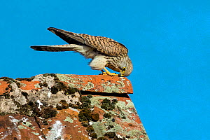 Kestrel (Falco tinnunculus) female resting on lichen covered barn roof and cleaning her beak after meal, France.  -  Klein & Hubert