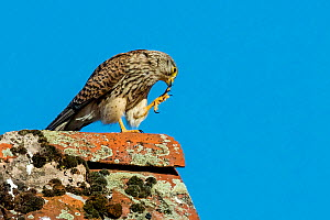 Kestrel (Falco tinnunculus) female resting on lichen covered barn roof and cleaning her talons France.  -  Klein & Hubert