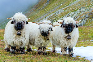 Blacknosed Valais sheep on alpine meadow in autumn, Switzerland.  -  Klein & Hubert