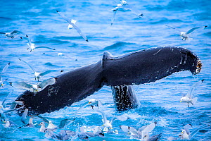 Humpback whale (Megaptera novaeangliae)  tail fluke surrounded by Black legged kittiwakes (Rissa tridactyla) Svalbard, Norway. - Klein & Hubert