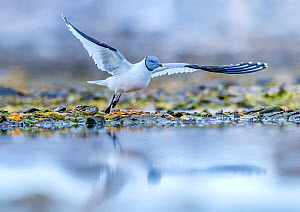 Sabine's gull (Xema sabini) taking of from ground near coastal lagoon, Svalbard, Norway. - Klein & Hubert