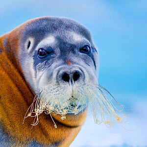 Bearded seal (Erignathus barbatus) close up, Svalbard, Norway. - Klein & Hubert