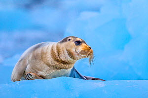 Bearded seal (Erignathus barbatus) resting on ice in summer, Svalbard, Norway. - Klein & Hubert