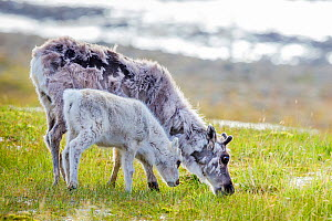 Svalbard reindeer (Rangifer tarandus platyrhynchus) female and calf grazing, Svalbard, Norway. - Klein & Hubert