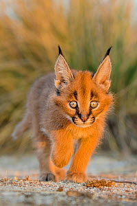 Caracal (Caracal caracal) kitten age one month, walking on rock, South Africa. Captive.  -  Klein & Hubert