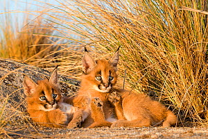 Caracal (Caracal caracal) two kittens age one month, running in savanna, South Africa. Captive.  -  Klein & Hubert