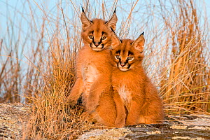 Caracal (Caracal caracal) two kittens age one month, sitting among savanna grasses, South Africa. Captive.  -  Klein & Hubert