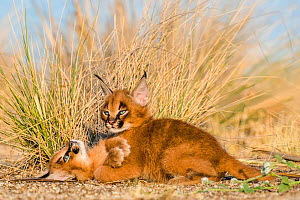 Caracal (Caracal caracal) two kittens age one month playing, South Africa. Captive.  -  Klein & Hubert