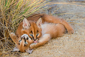 Caracal (Caracal caracal) two kittens, age two months, playing, South Africa.  Captive.  -  Klein & Hubert