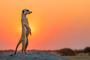 Meerkat (Suricata suricatta) standing on burrow at sunset, Kalahari, Botswana - Klein & Hubert