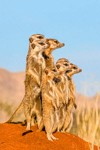 Meerkat (Suricata suricatta) alarmed group standing on hind legs watching jackal pass by, Kalahari, Botswana - Klein & Hubert