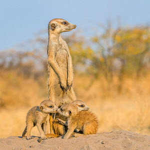 Meerkat (Suricata suricatta) three pups, age one month, on den with adult 'babysitter', Kalahari Desert, Botswana. - Klein & Hubert