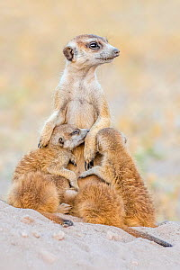 Meerkat (Suricata suricatta) alpha female nursing her one month old pups on the den, Kalahari Desert, Botswana.  -  Klein & Hubert