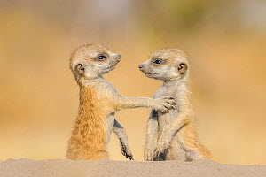 Meerkat (Suricata suricatta) two pups, age one month, playing on burrow, Kalahari Desert, Botswana.  -  Klein & Hubert