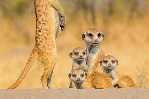 Meerkat (Suricata suricatta) two 'babysitters' with three pups, age one month, playing on burrow, Kalahari Desert, Botswana.  -  Klein & Hubert