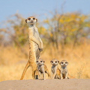 Meerkat (Suricata suricatta) 'babysitter' with three pups about one month old on the burrow, Kalahari Desert, Botswana.  -  Klein & Hubert