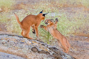 Caracal (Caracal caracal) two kittens, age two months, playing, South Africa. Small repro only. Captive.  -  Klein & Hubert