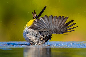 African red-eyed bulbul (Pycnonotus nigricans) bathing at waterhole. Kalahari Desert, South Africa  -  Klein & Hubert