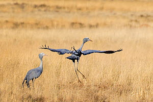 Blue crane (Grus paradisea) pair displaying in open grassland in early spring. South Africa. - Klein & Hubert