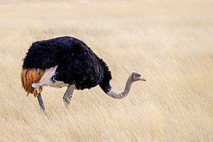 Ostrich (Struthio camelus australis) male feeding in dry grass, South Africa  -  Klein & Hubert