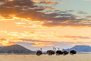 Ostrich (Struthio camelus australis) flock at sunset, South Africa. - Klein & Hubert
