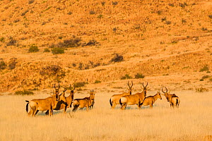 Red Hartebeest (Alcelaphus caama) herd in karoo grassland, South Africa.  -  Klein & Hubert